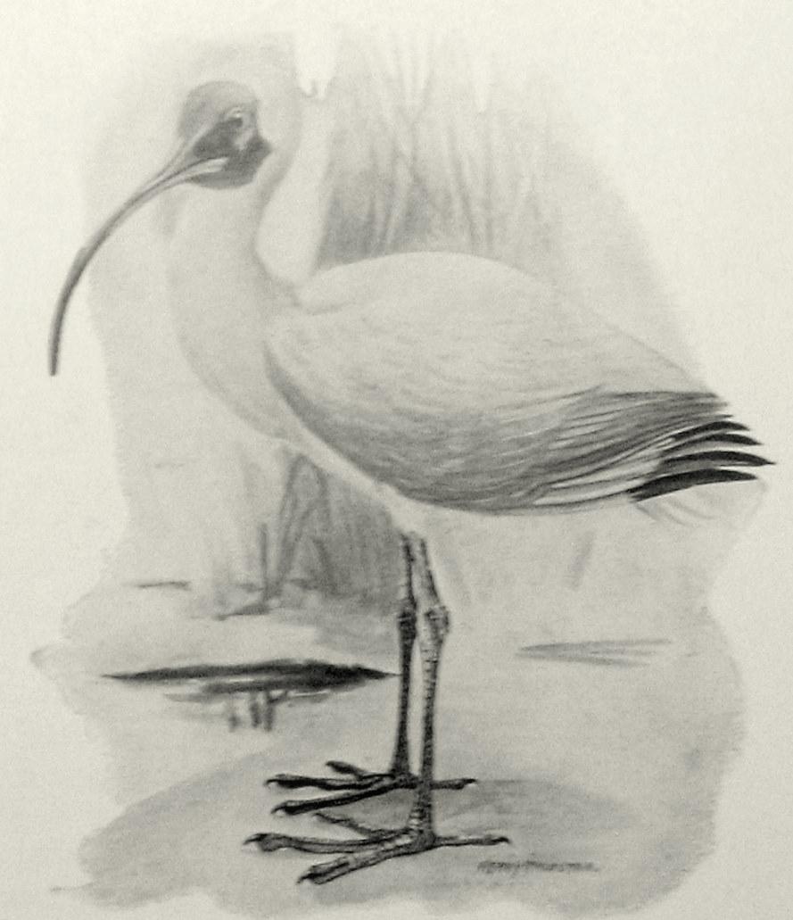 Florida\'s White Ibis